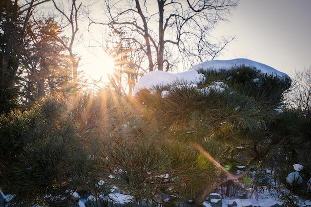 Galhos de árvores coníferas, iluminados pelo sol na temporada de inverno