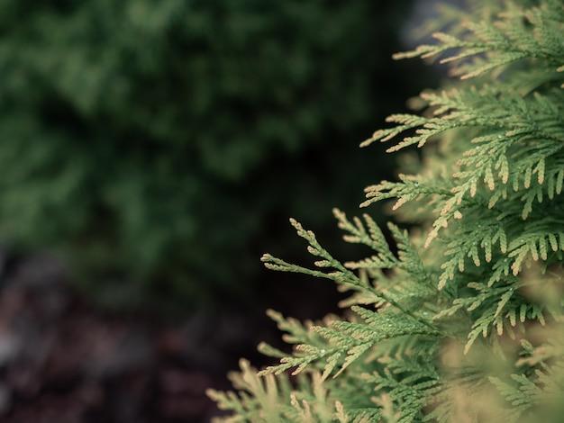 Galhos de árvores de cedro verde