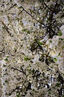Galhos de árvores florescendo com flores brancas em todo o quadro o galho da frente está em foco