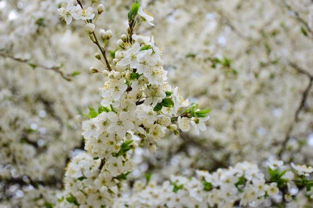 Galhos de árvores florescendo com flores brancas em todo o quadro. o ramo frontal está em foco nítido e o fundo está muito desfocado