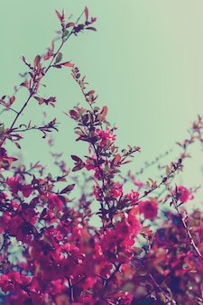 Galhos de árvores frutíferas com flores cor de rosa