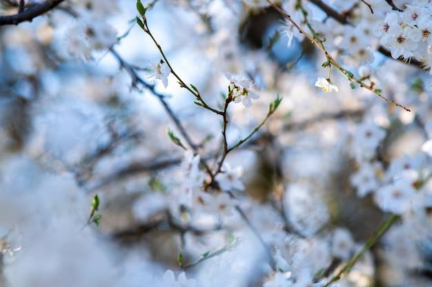 Galhos de árvores frutíferas com flores de pétalas brancas e rosa desabrochando no jardim primavera. Foto Premium