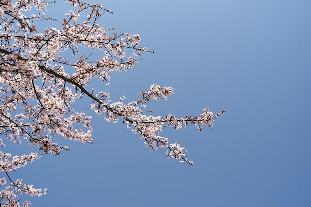 Galhos de árvores rosa florescendo contra um céu azul brilhante close-up