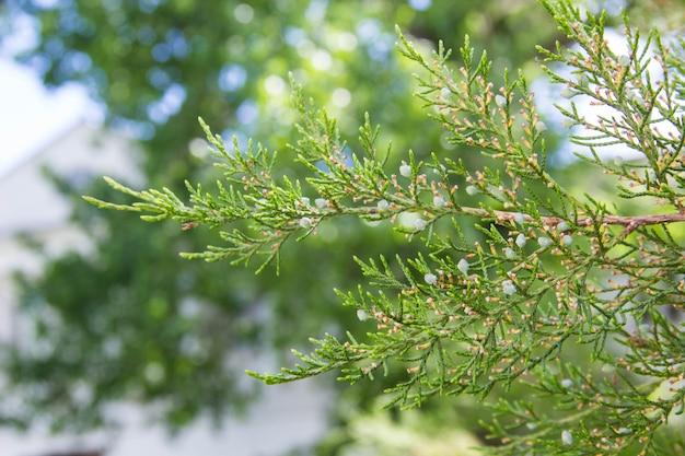 Galhos de árvores verdes de thuja como imagem de fundo