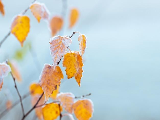 Galhos de bétula com folhas secas estão cobertos de geada branca