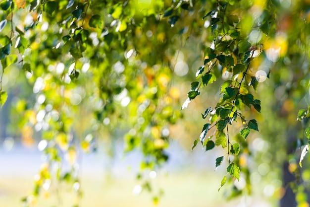 Galhos de bétula com folhas verdes e amarelas