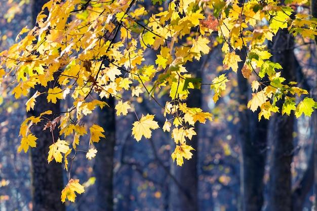 Galhos de bordo com folhas amarelas brilhantes na floresta em um fundo escuro em tempo ensolarado