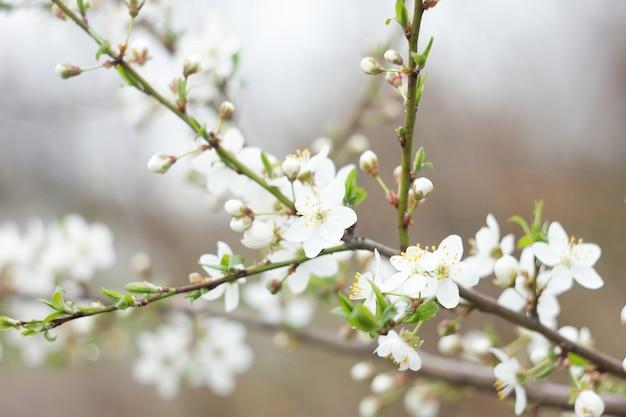Galhos de cereja florescimento de galho, fundo de nascente natural, flor de sakura