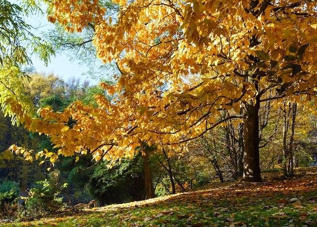 Galhos de faia com folhas de outono amarelo-marrom e grama verde sob ele no parque da cidade.