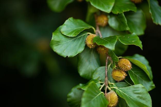 Galhos de faia com nozes de faia na floresta de verão