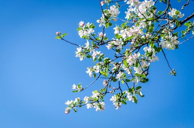 Galhos de macieira em flor