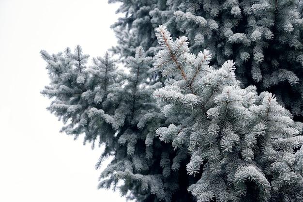Galhos de pinheiro cobertos de geada em um fundo claro