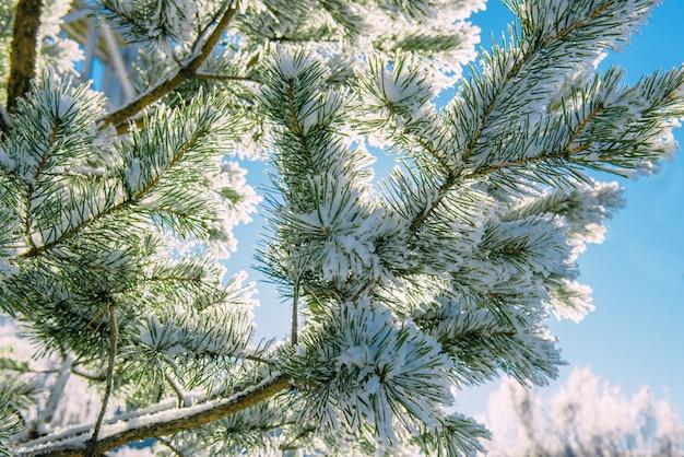 Galhos de pinheiro cobertos de geada