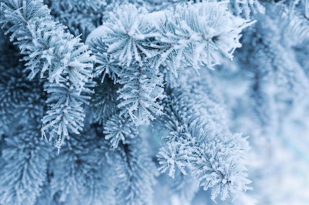 Galhos de pinheiro cobertos de neve
