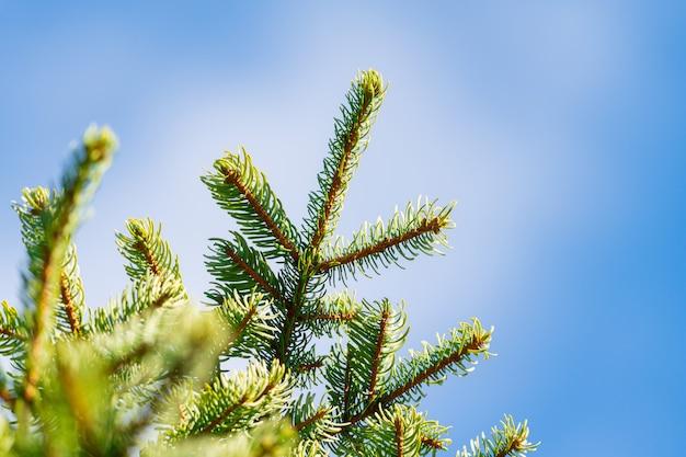 Galhos de pinheiro com agulhas espinhosas. árvore de natal em fundo de céu azul com nuvens brancas. foco em primeiro plano