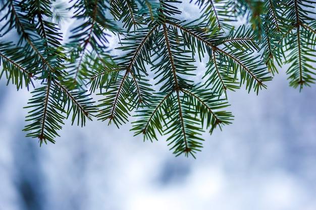 Galhos de pinheiro com agulhas verdes cobertas com neve limpa e fresca