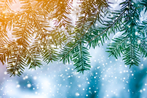 Galhos de pinheiro com agulhas verdes cobertas com neve limpa profunda fresca no azul turva