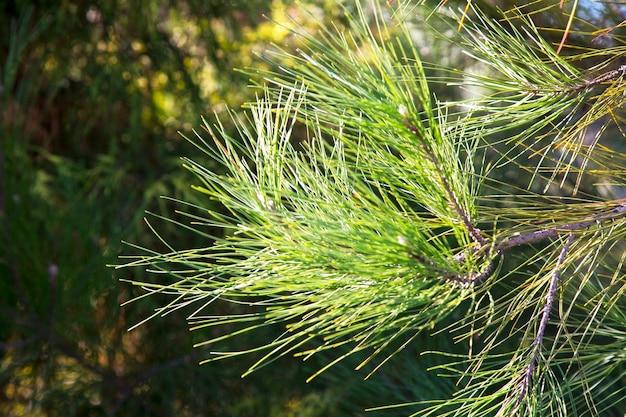 Galhos de pinheiro verde-claro com longas agulhas verdes. fundo do céu azul, beleza da natureza. ao ar livre e o conceito de ar fresco. pinus sylvestris em latim. o spruce. foco seletivo. close-up de galho de árvore.