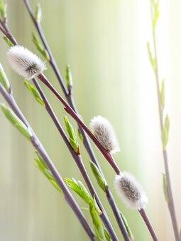 Galhos de salgueiro florescendo na primavera