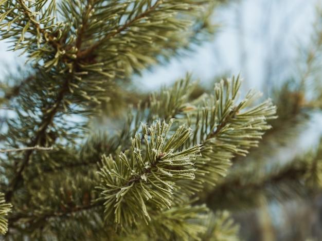 Galhos de uma árvore de abeto com fundo desfocado