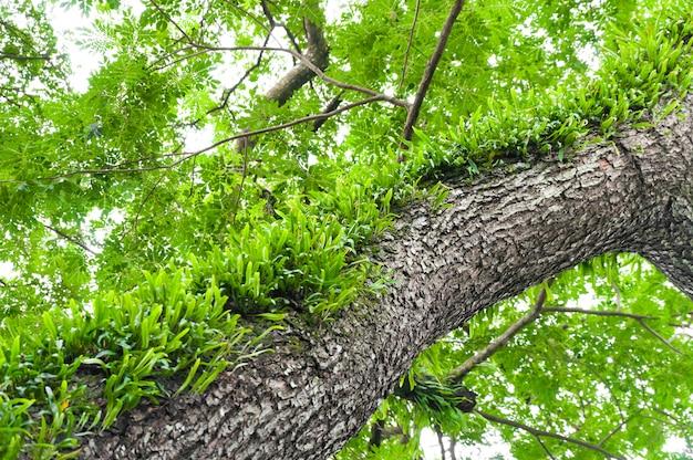 Galhos de uma grande árvore coberta com samambaias e musgo parasitas