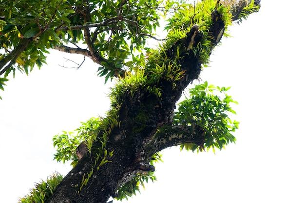 Galhos de uma grande árvore coberta de samambaias e musgo parasitas