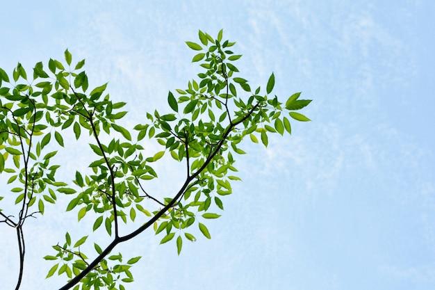 Galhos e folhas da árvore na natureza