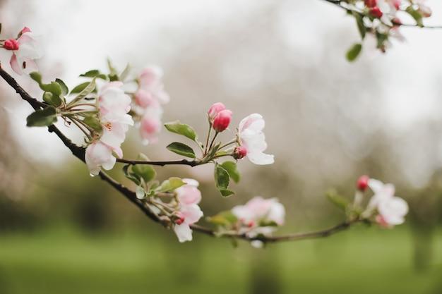 Galhos em flor de uma árvore na primavera