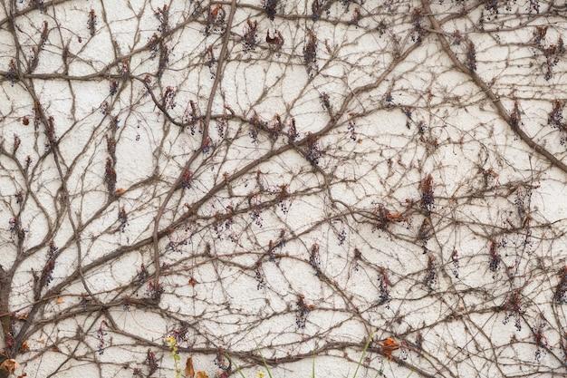 Galhos escalando liana com bagas no fundo da parede de gesso branco
