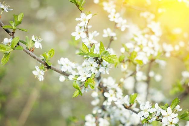 Galhos florescendo na primavera, com luz do sol, fundo de primavera