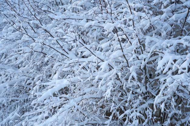 Galhos nevados de arbustos