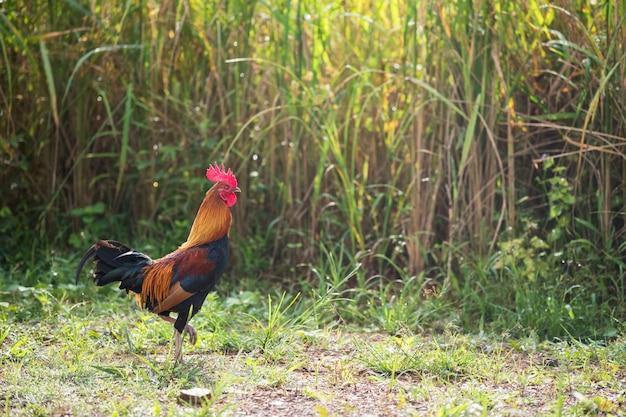 Galinha bantam macho caminha em campo de arroz com casca de jasmim