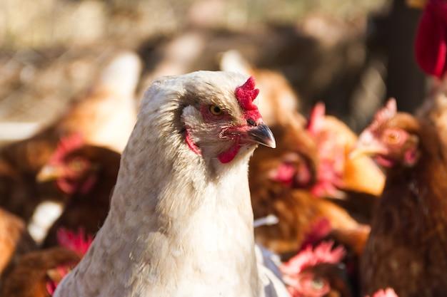Galinha brahma branca com penas no galinheiro
