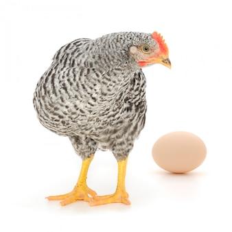 Galinha cinzenta com ovo