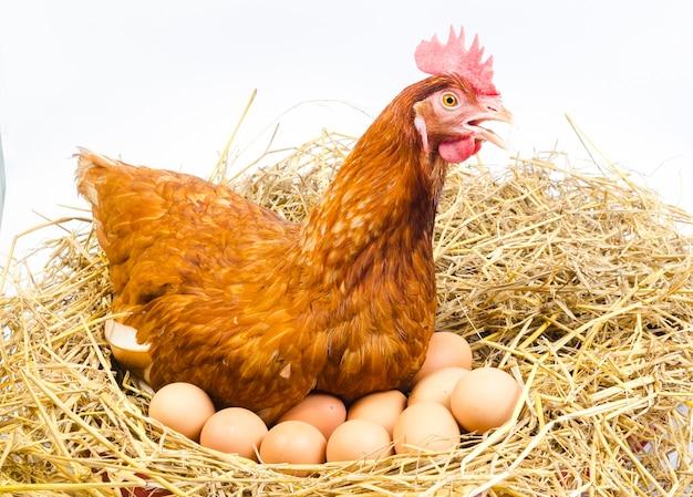 Galinha com ovos, estúdio de tiro