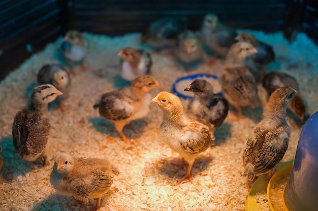 Galinha do bebê na exploração avícola agrícola. entre em contato com o zoológico.