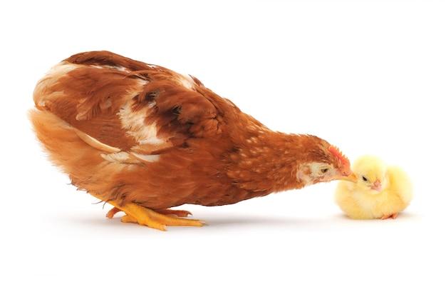 Galinha e galinha marrom