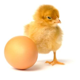 Galinha e ovo isolados no branco.