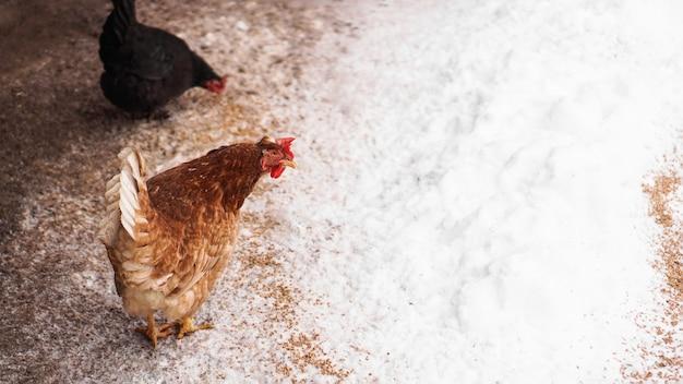 Galinha no quintal em um dia de inverno. frango bicando grãos da neve