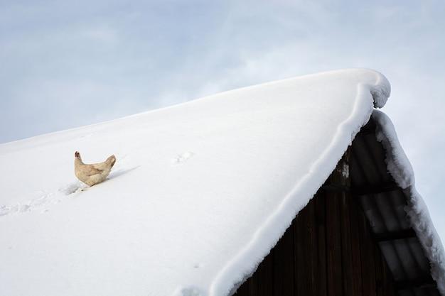 Galinha otimista sentada no telhado coberto de neve de uma velha casa de aldeia de madeira