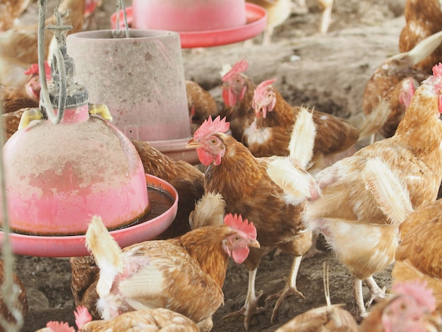 Galinha, ovo de galinha na fazenda.