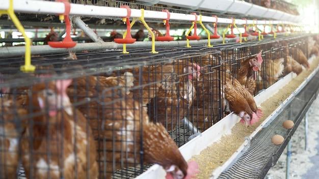 Galinha, ovos e galinhas da galinha que comem o alimento na exploração agrícola.