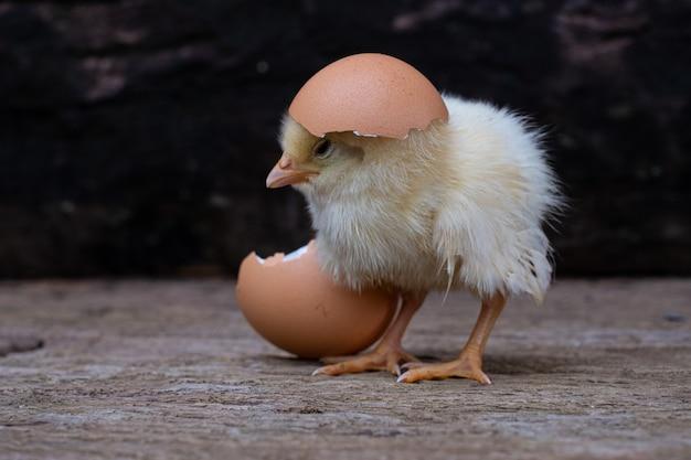 Galinha saindo de um ovo e casca de ovo em uma superfície de madeira velha