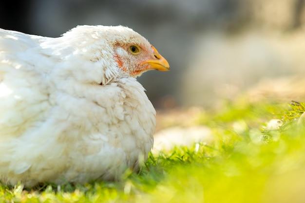 Galinhas alimentam-se de currais rurais tradicionais. perto do frango branco sentado no quintal do celeiro com grama verde. conceito de avicultura ao ar livre.