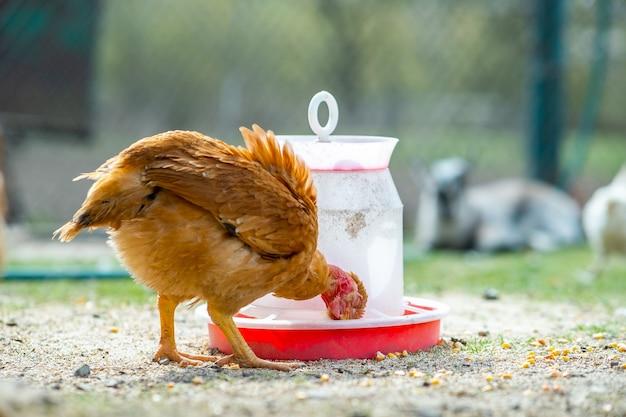 Galinhas alimentam-se de currais rurais tradicionais. perto do frango em pé no pátio do celeiro com alimentador de pássaros. conceito de avicultura ao ar livre.