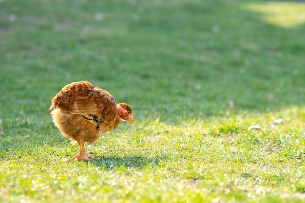 Galinhas alimentam-se de currais rurais tradicionais. perto do frango em pé no quintal do celeiro com grama verde. conceito de avicultura ao ar livre.