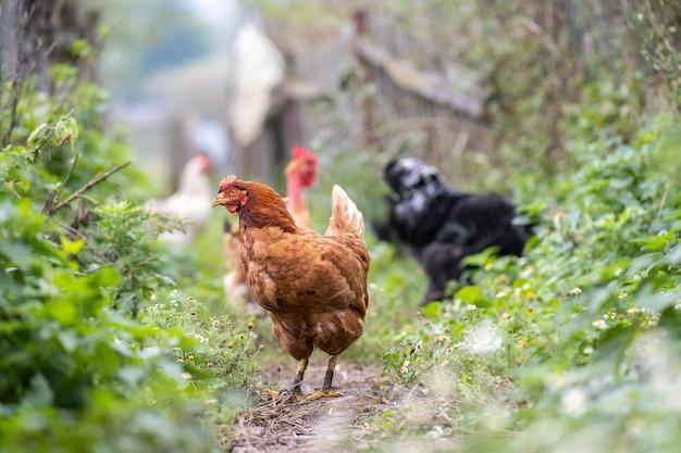 Galinhas alimentando-se de celeiro rural tradicional. perto de frango no pátio do celeiro. conceito de avicultura ao ar livre.