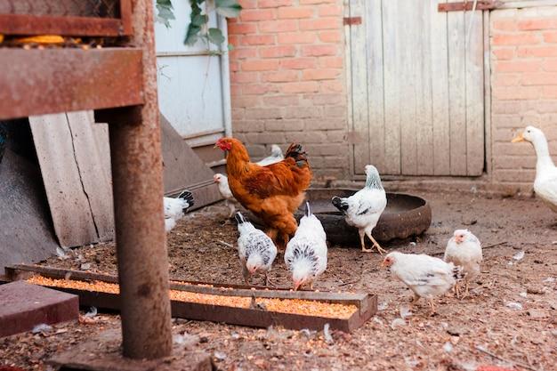 Galinhas andando pelo quintal, curral em uma fazenda para criação de aves