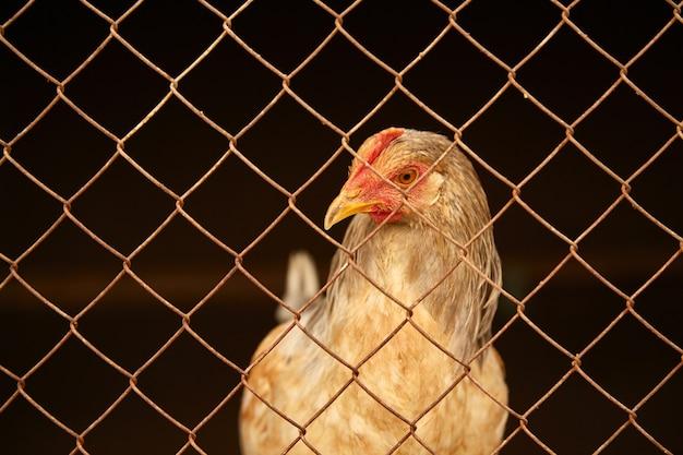 Galinhas claras em um galinheiro atrás das grades.