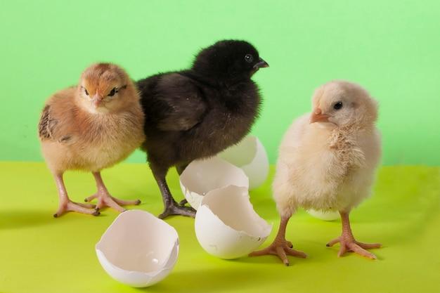 Galinhas coloridas e fofas brincando entre cascas de ovo